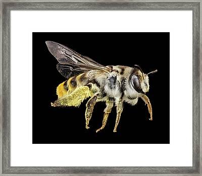 Australian Bee Framed Print