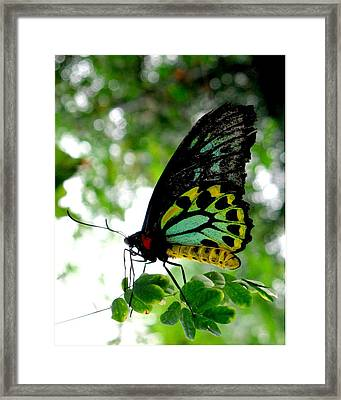 Australian Butterfly Cairns Birdwing Ornithoptera Priamus Framed Print by  Andrea Lazar