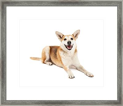 Australian Cattle And Shiba Inu Mix Dog Laying Framed Print by Susan Schmitz