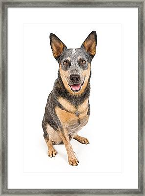 Australian Cattle Dog With Missing Leg Isolated On White Framed Print by Susan Schmitz