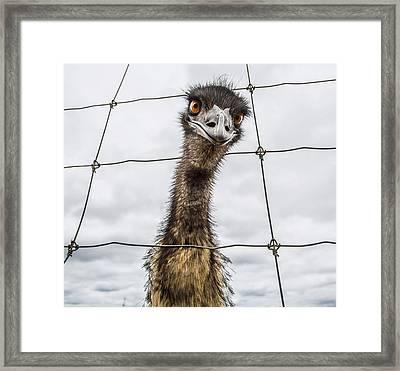 Australian Emu Dromaius Novaehollandiae Framed Print by David Trood