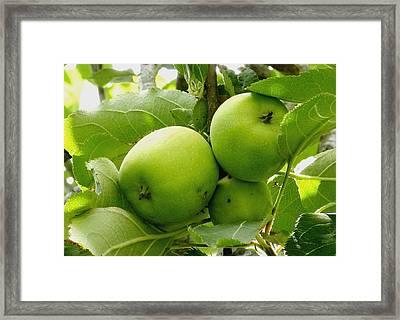 Australian Ganny Smith Apples Framed Print by Sandra Sengstock-Miller