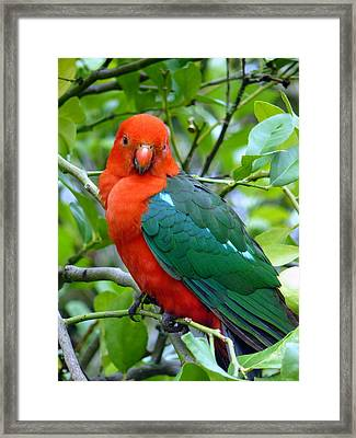 Framed Print featuring the photograph Australian King Parrot Portrait by Margaret Stockdale