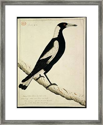 Australian Magpie Framed Print by Natural History Museum, London