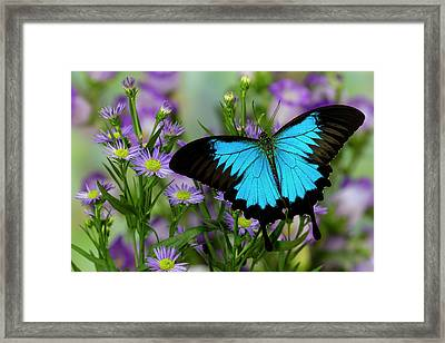 Australian Mountain Blue Swallowtail Framed Print