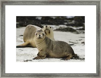 Australian Sea Lion And Pup Kangaroo Isl Framed Print