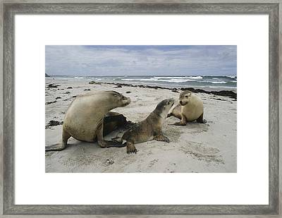 Australian Sea Lion And Pups Kangaroo Framed Print