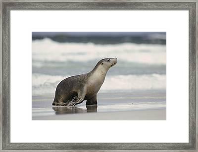 Australian Sea Lion Female Kangaroo Framed Print