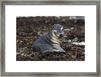 Australian Sea Lion Pup In Seaweed Framed Print