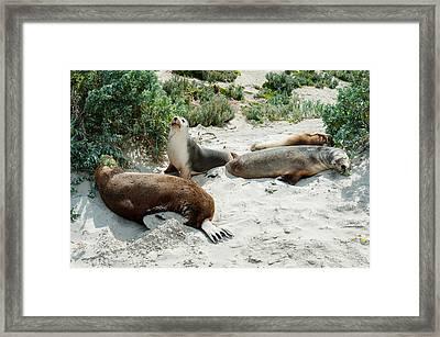 Australian Sea Lions Neophoca Cinerea Framed Print
