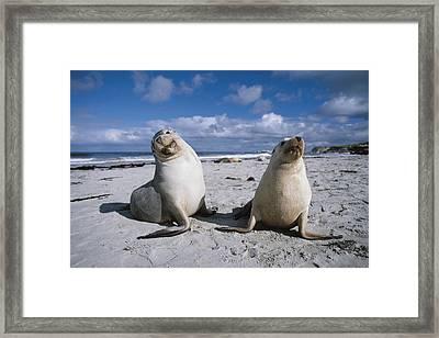 Australian Sea Lions On Beach Kangaroo Framed Print