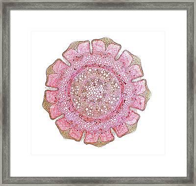 Australian She Oak Stem Framed Print by Dr Keith Wheeler
