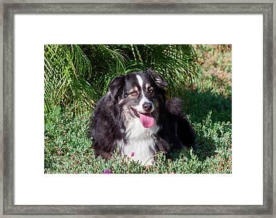 Australian Shepherd Lying In The Garden Framed Print