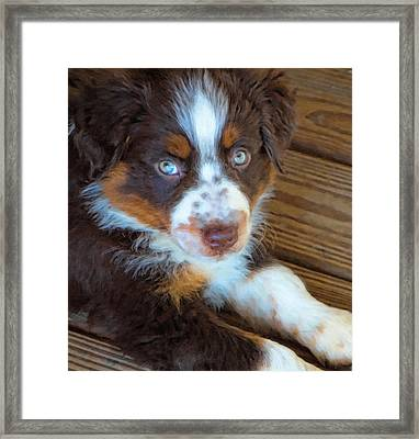 Australian Shepherd Puppy - Rusty Framed Print by Kenny Francis