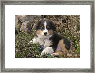 Australian Shepherd Puppy Framed Print