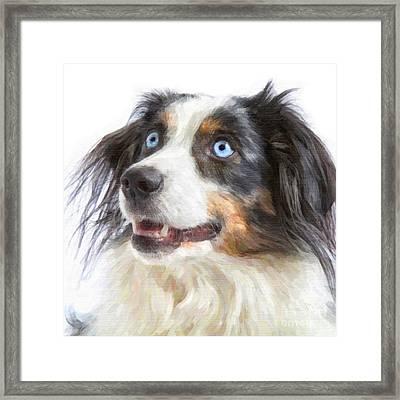 Australian Shepherd Framed Print