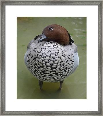 Australian Wood Duck Framed Print by Margaret Saheed