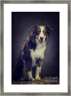Australien Shepherd Portrait No2 Framed Print by Angela Doelling AD DESIGN Photo and PhotoArt
