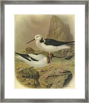 Australilan Avocet Pied Stilt And Black Stilt Framed Print
