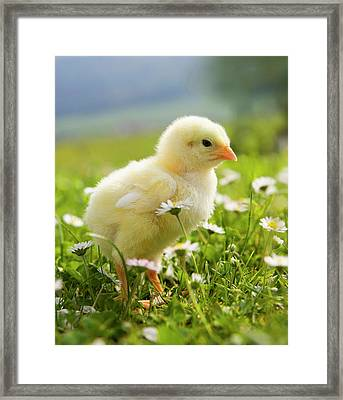 Austria, Baby Chicken In Meadow, Close Framed Print by Westend61
