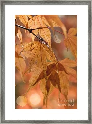 Autumn Acer Framed Print by Anne Gilbert