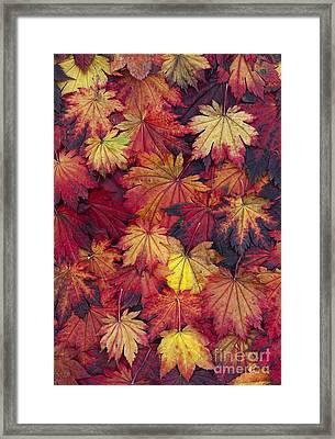 Autumn Acer Leaves Framed Print