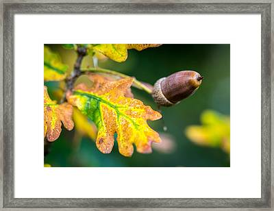 Framed Print featuring the photograph Autumn Acorn. by Gary Gillette