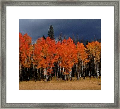 Autumn Aspen Framed Print