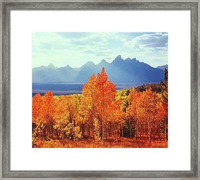 Autumn Aspen Trees In Grand Teton Framed Print by Ron thomas