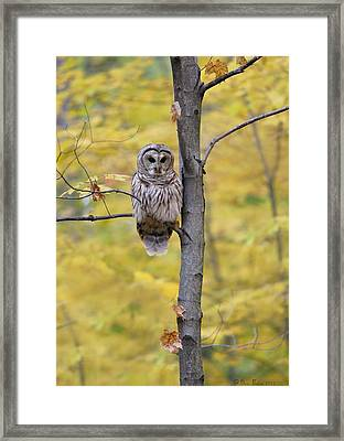 Autumn Barred Owl Framed Print by Daniel Behm