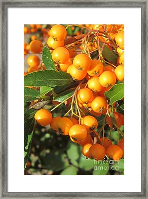 Autumn Berries Pyracantha Framed Print by John Clark