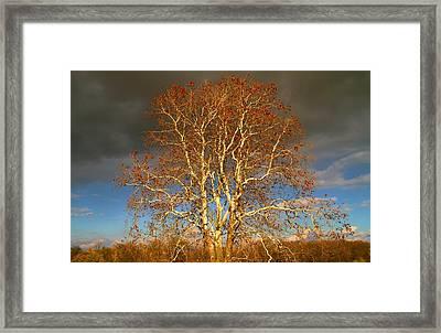 Autumn Birch Framed Print by Dan Sproul