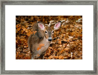 Autumn Buck Framed Print by Tracy Munson