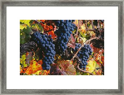 Autumn Cabernet Clusters  Framed Print by Craig Lovell