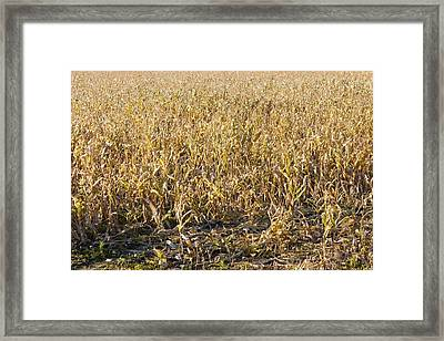 Autumn Cattle Silage Corn In Maine Framed Print by Keith Webber Jr