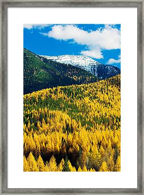 Autumn Color Larch Trees In Pine Tree Framed Print