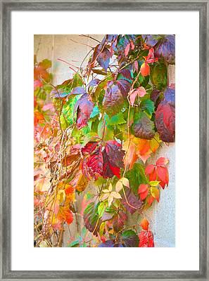 Autumn Colors Of Virginia Creeper Framed Print