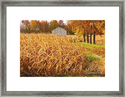 Autumn Corn Framed Print