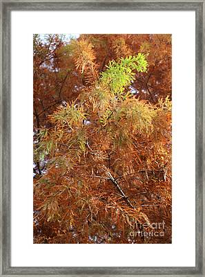 Autumn Cypress Leaves Close Up Framed Print by Carol Groenen