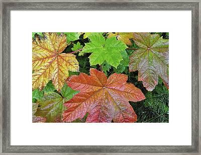 Autumn Devil's Club Framed Print