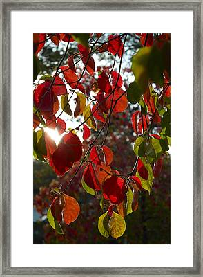 Autumn Dogwood In Evening Light Framed Print by Michele Myers