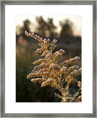 Autumn Frost On Goldenrod Flower Framed Print