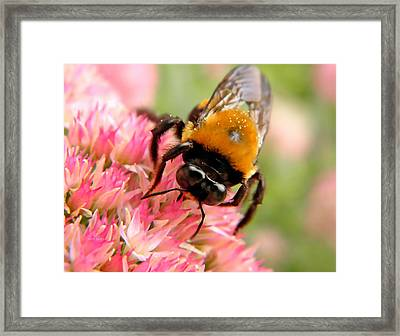 Autumn Glory And Bumblebee Framed Print by Chris Berry
