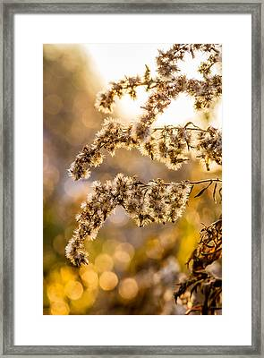 Autumn Goldenrod  Framed Print