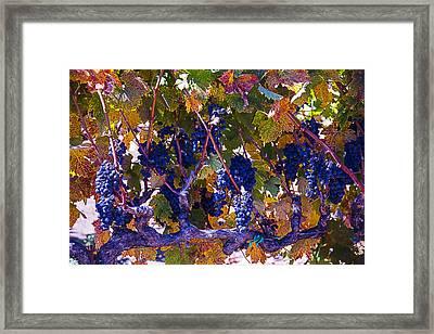 Autumn Grape Harvest Framed Print