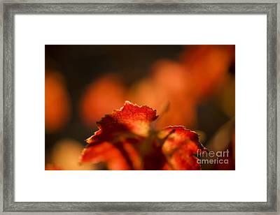 Autumn Grape Leaf Macro Framed Print by Charmian Vistaunet