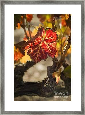 Autumn Grape Leaves Framed Print by Charmian Vistaunet