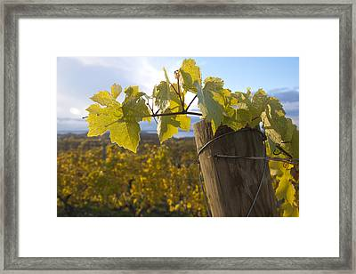 Autumn Grape Leaves Framed Print