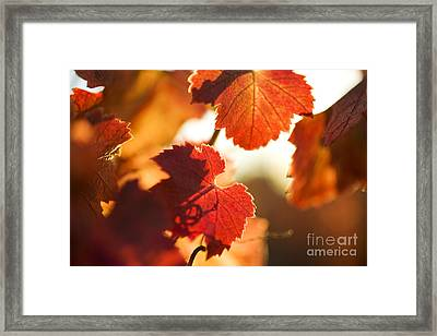 Autumn Grapevine Leaves Framed Print by Charmian Vistaunet