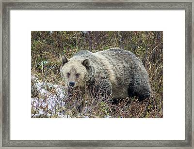 Framed Print featuring the photograph Autumn Grizzly by Jack Bell